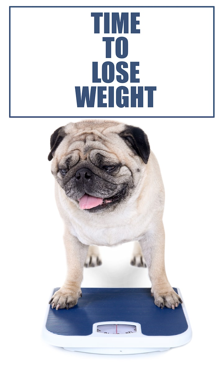 Pug lose weight_Kangaroo_Web-min